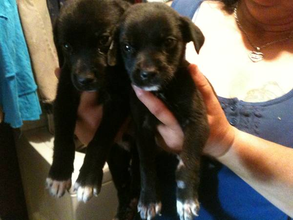 Mountain Cur Lab Mix puppies (Lafayette)