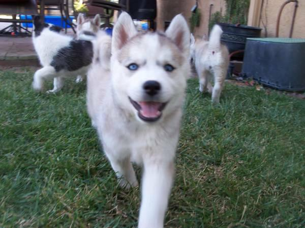 hello we have three cut Siberian huskies pups for adoption