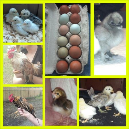 UNWANTED CHICKENS AND HATCHING EGGS - $1 (New Iberia, La.)