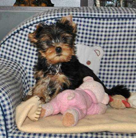 220  Gorgeous Teddy Bear Face Teacup Yorkie Puppies for those interested text me 646 598-6516