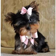2 Sweet Male and Female teacup Yorkie puppies Available txt 612 213-4721