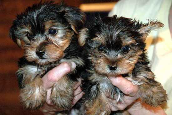 2 months old Yorkies 230  Very calm pups with an awesome personality    text or call 769 303-0348