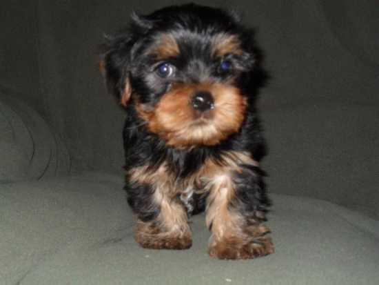 Extremely Cute Teacup Yorkie Puppies Available For Adoption612 213-1764