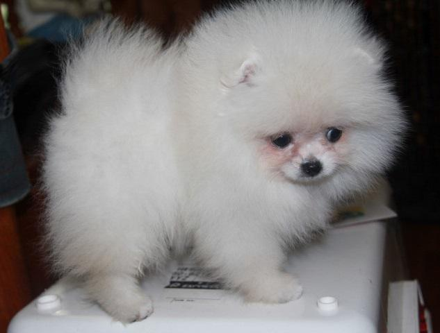 Fine-Looking white teacup Pomeranian Puppies for sale text   786 571-4210