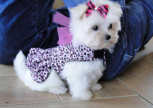 Healthy Maltese Puppies For adoption617 313-3657