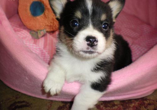 Lovely male and female Corgi for sale