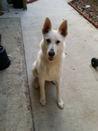 FOUND-White Shepard  Pinhook Youngsville Hwy