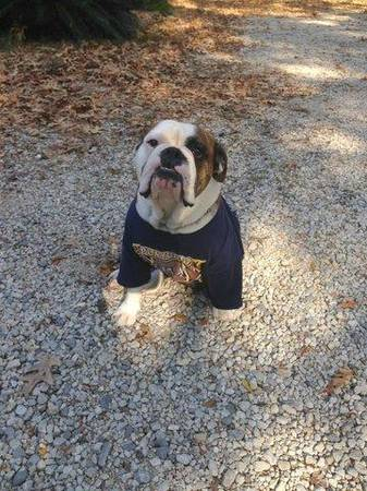 LOST ENGLISH BULLDOG  Carencro Sunset