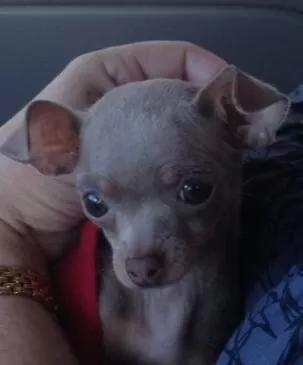 Lost Chihuahua