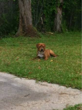Brindle black mouth cur (Sulphurlake Charles )