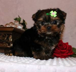 Yorkie puppies ready for adoption(406) 890-7191 - $200 (Texas)
