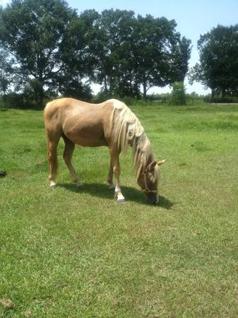 5 year old palomino mare Quarter horse - $500 (Lafayette )