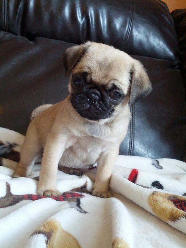lovely pug puppies ready for you call 302 257-2700