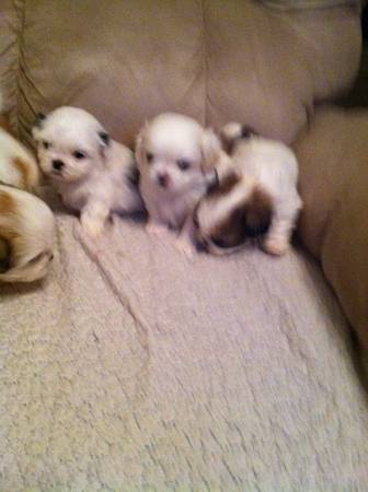 Shih-Tzu puppies for sale -  300  Dequincy-Ragley Area
