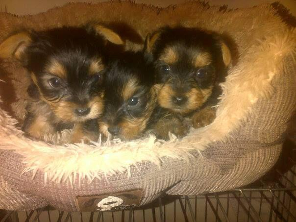 210  Gorgeous  AKC Registered Teacup Yorkshire Terrier boys and Girls Yorkie xx alexandria lakecharlesxx