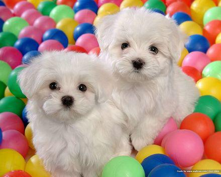 Absolutely Cute Maltese Puppies Available 507 502-2241