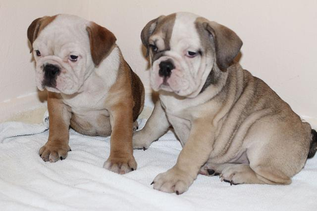 Bulldog pups for rehoming txt or call 7242418520