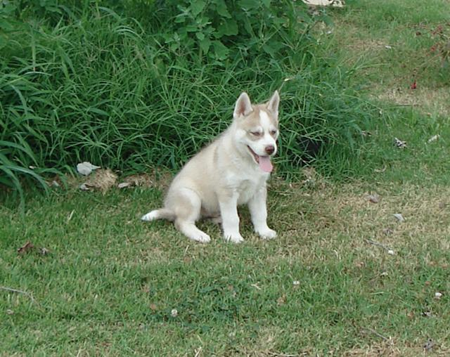 Offered Huskie Puppies - 760915-6364