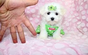 Outstanding Teacup Maltese Puppies Text 779 206-7226