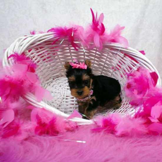 T-Cup Yorkshire-Terrier Puppies Available for adoption to loving homes612 213-1764