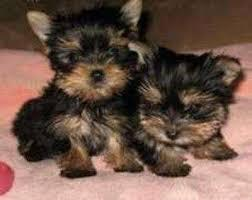 ADORABLE Tiny YORKIES Yorkshier Terrier TEXT to 310 307-2927