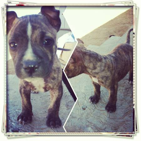 Pitbull Puppy For Sell RedBlue Nose - $250 (Laredo, Tx)