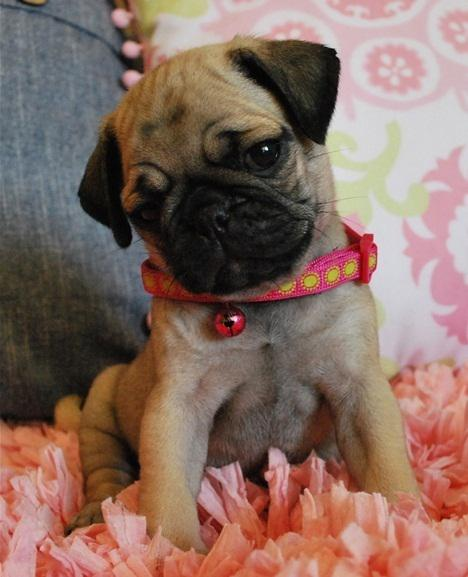 Beautiful Akc Pug puppiesready Now Price reduced