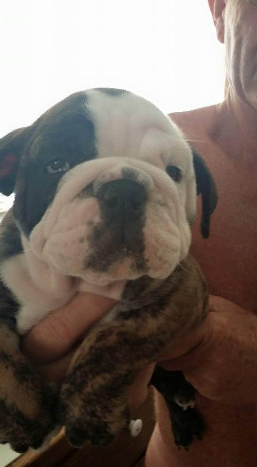 Registered AKC Male and Female  English Bulldog Puppies Available  434-338-7561