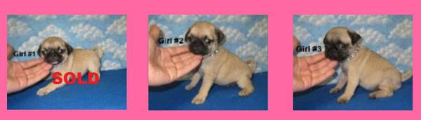 Pug Puppies 4 left   pharr