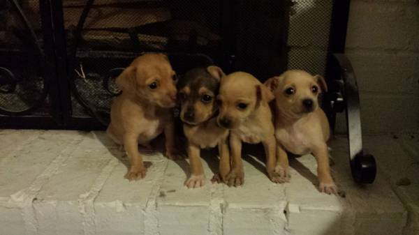 Rehoming chihuahua puppies  100  mission