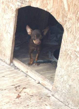 CHIHUAHUA - $75 (HARLINGENMCALLEN)
