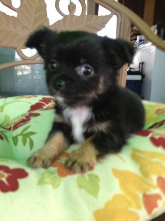 Rehoming Chihuahua Puppies - x0024200