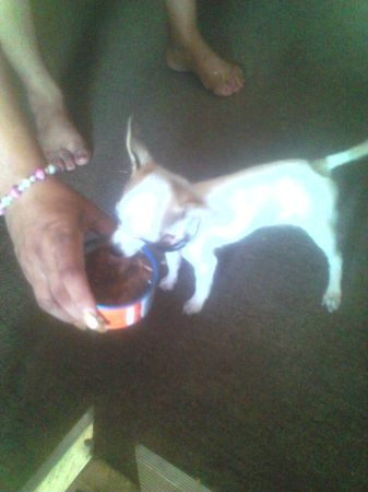 5-6 month old Chihuahua - $100 (Mission Tx)