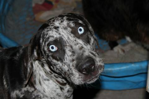 Catahoula Leopard Puppies - x0024500 (Alamo)