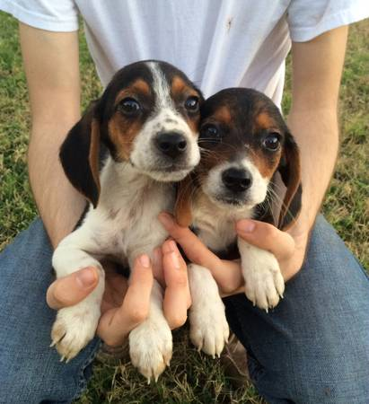 Beagle puppies (mission)
