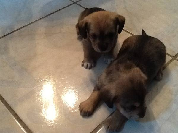 Dachshund Puppies - x002450 (Alton)