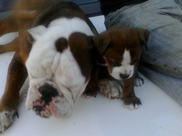 EnglishAmerican bulldog puppies only one left (edinburg)