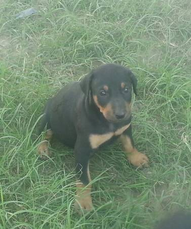97349734 doberman puppies 97349734 - x0024180 (palmview)
