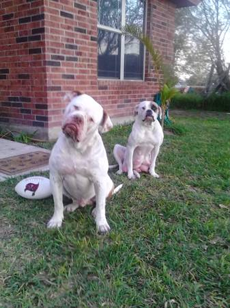 American Bulldog puppies registered - x0024550 (mid valley)