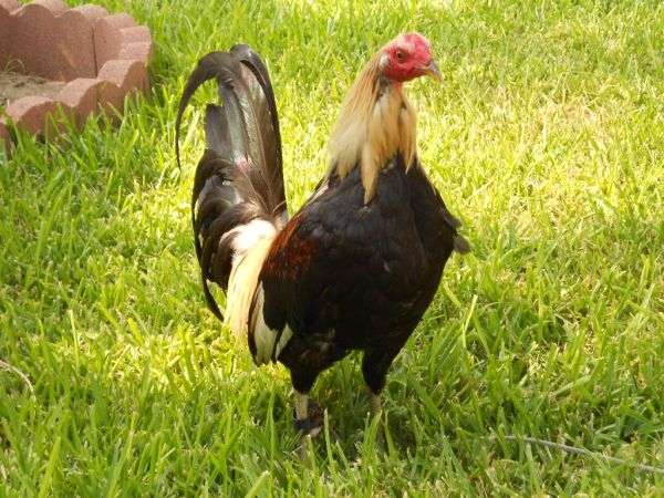 Game Rooster and Hen, Gallos y gallinas finos (McAllen)