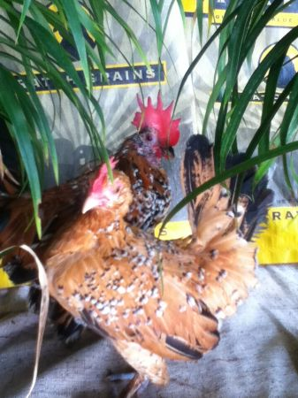 Duccle Mille Fluer Bantam Cubano Pollo Gallina Rooster - $55 (McAllenMissionPharr)