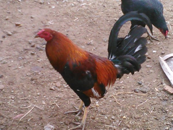 gallos finos gallinas - $50 (mission tx)