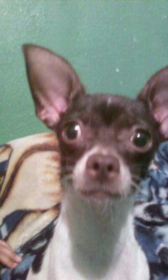 3 yr old female chihuahua looking for STUD - $50 (donna tx)