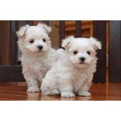 Great Bloodlines Maltese Puppies text us at 708 719-0995