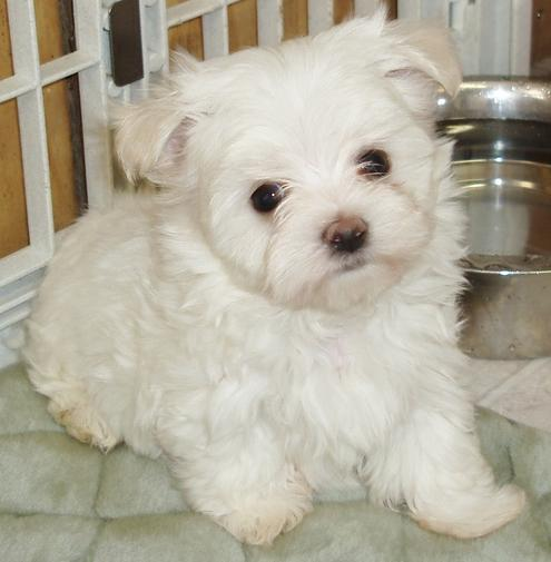 The Maltese is spirited  lively and playful  646 601-5642