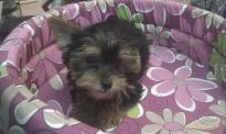 teacup Yorkie puppies ready