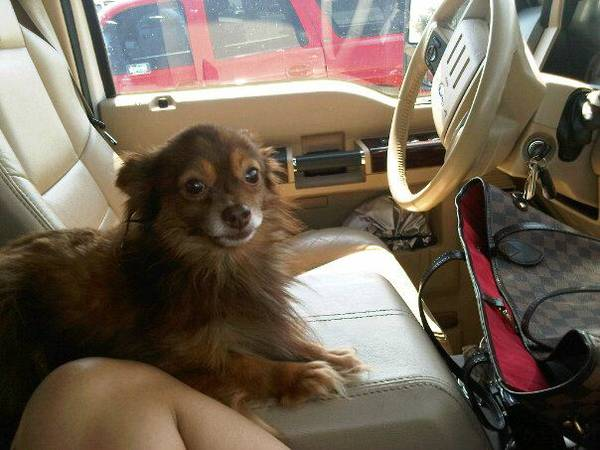 LOST BROWN LONG-HAIRED CHIHUHUA  MISSION  TEXAS