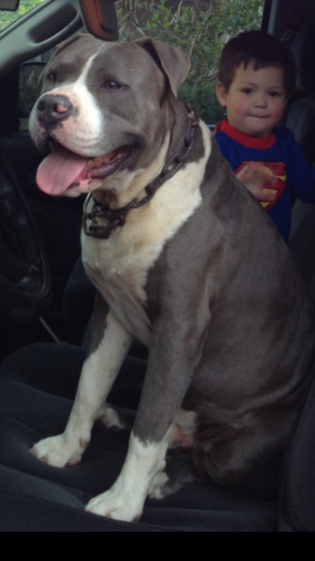 REWARD For LOST Family Pitbull
