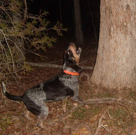 5 Mo. Old Bluetick Coonhund Puppies, Will be Natural Tree Dogs - $225 (Vaiden, MS)