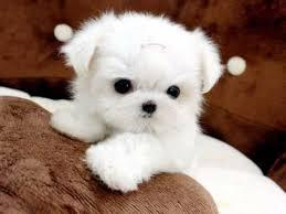 Cute Toy-Size Maltese Puppies Text 779 206-7226